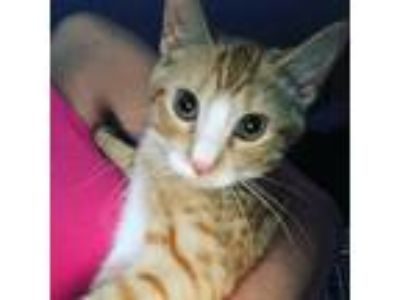 Adopt Sandy a Orange or Red Tabby Domestic Shorthair (short coat) cat in Old