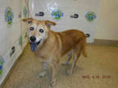 Adopt NACY a Tan/Yellow/Fawn Chow Chow / Mixed dog in Doral, FL (25620947)