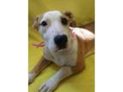 Adopt Melody a White American Staffordshire Terrier / Mixed dog in Madera