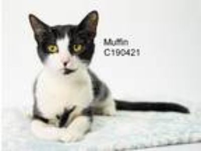 Adopt Muffin a Black & White or Tuxedo Domestic Shorthair / Mixed (short coat)