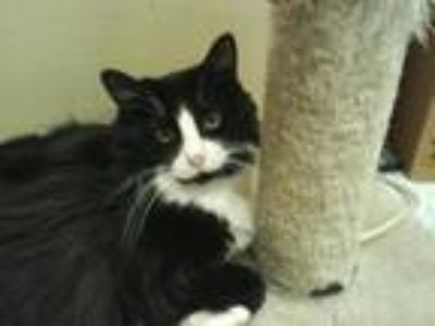 Adopt Lubby - Napa a Black & White or Tuxedo Domestic Longhair / Mixed (long