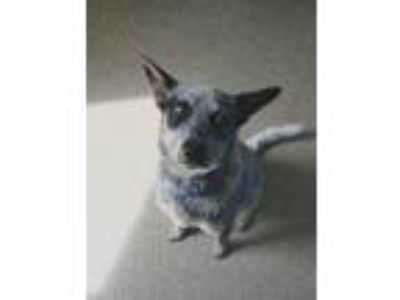 Adopt Asher a Australian Cattle Dog / Blue Heeler