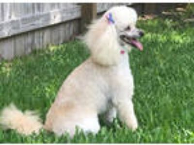 Adopt HEATHER a Poodle