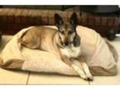 Adopt Tess a Australian Cattle Dog / Blue Heeler, German Shepherd Dog