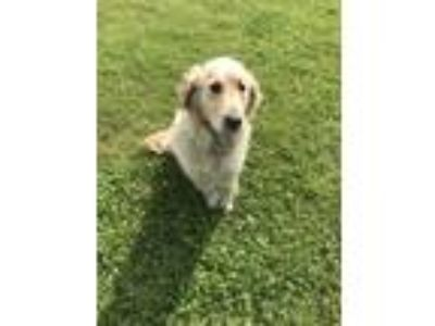 Adopt Please don t share a Tan/Yellow/Fawn Golden Retriever / Mixed dog in
