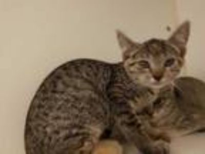 Adopt SALLY RIDE a Brown Tabby Domestic Shorthair / Mixed (short coat) cat in