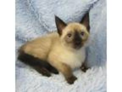 Adopt Harper a Cream or Ivory Siamese / Domestic Shorthair / Mixed cat in