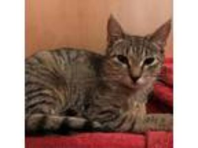 Adopt Smokey a Brown or Chocolate Domestic Shorthair cat in Forest Hills