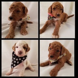 Goldendoodle PUPPY FOR SALE ADN-103350 - Goldendoodles Health Tested