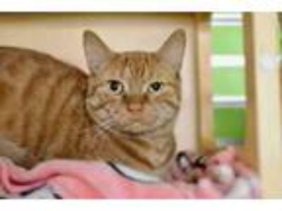 Adopt Chicken a Orange or Red Domestic Shorthair / Domestic Shorthair / Mixed