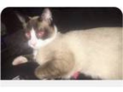 Adopt Gunther a Cream or Ivory (Mostly) Siamese cat in Taylorsville
