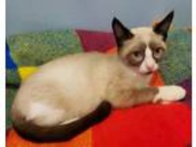Adopt Tao a Cream or Ivory (Mostly) Domestic Shorthair / Mixed (short coat) cat