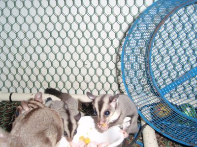 Sweet Sugar Gliders
