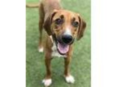 Adopt Ann a Brown/Chocolate Hound (Unknown Type) / Mixed dog in Washington