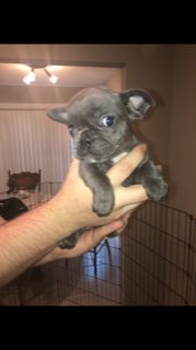 American French Bull Terrier PUPPY FOR SALE ADN-93658 - French Bulldogs
