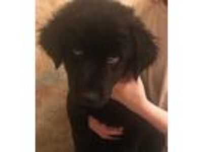 Adopt Onyx a Black Labrador Retriever / Siberian Husky / Mixed dog in Macon