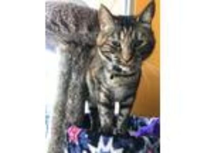 Adopt Freya a Orange or Red Tabby Domestic Shorthair / Mixed (short coat) cat in