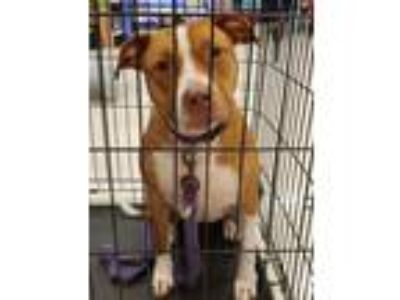 Adopt Laffy Taffy a Pit Bull Terrier