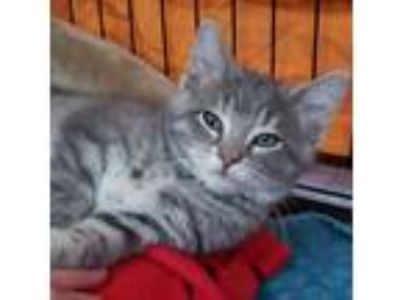 Adopt Yale a Gray or Blue Domestic Longhair / Domestic Shorthair / Mixed cat in