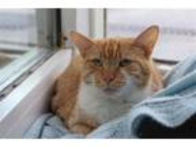 Adopt Rusty a Domestic Short Hair