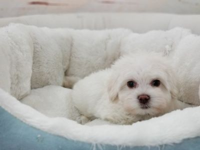Maltese Puppy- Male- Fofo ($2,200)