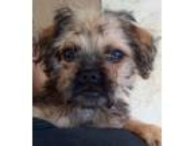 Adopt Parsley a Pug, Yorkshire Terrier