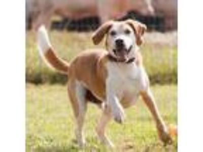 Adopt Chief a Tan/Yellow/Fawn Hound (Unknown Type) dog in Natchitoches