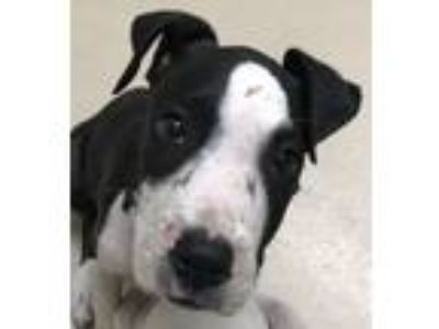Adopt Bugle a Pit Bull Terrier