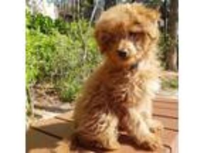 Adopt Pony a Brown/Chocolate Poodle (Miniature) / Cockapoo / Mixed dog in Los