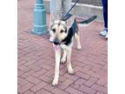 Adopt Marlene Dietrich a German Shepherd Dog