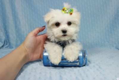 Sweetest Maltipoo Puppies in Las Vegas!