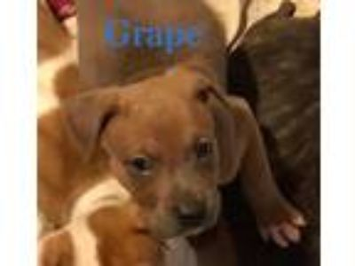 Adopt Grape Vine a Tan/Yellow/Fawn Pit Bull Terrier / Mixed dog in Boston