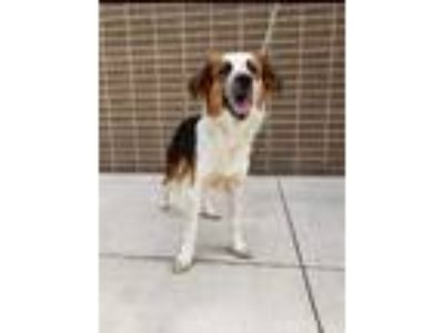 Adopt Redford a Border Collie