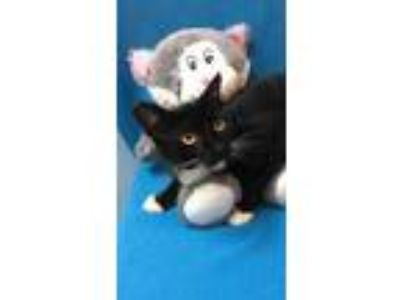 Adopt Sylvester a All Black Domestic Shorthair / Domestic Shorthair / Mixed cat