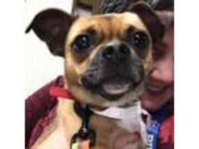 Adopt Rock a Brown/Chocolate Pug / Mixed Breed (Small) dog in Pendleton
