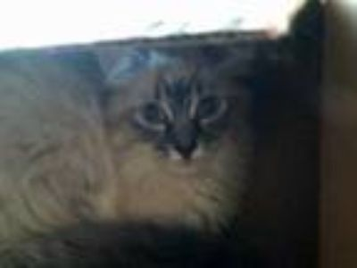 Adopt Barn Kitten Snowball a Gray or Blue Domestic Shorthair / Domestic