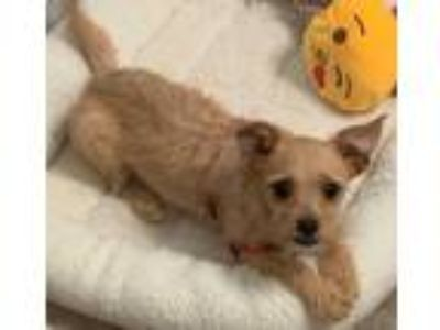 Adopt Hazel pup a Terrier (Unknown Type, Small) / Mixed dog in Lake Forest