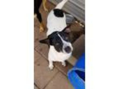 Adopt Rogue a Black - with White Mixed Breed (Medium) / Mixed dog in Boaz