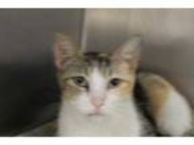 Adopt Oprah a Gray or Blue Domestic Shorthair / Domestic Shorthair / Mixed cat