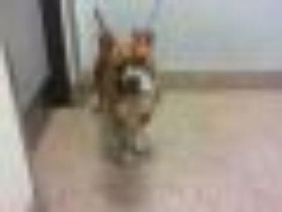 RUS American Bulldog - Mixed Breed Dog