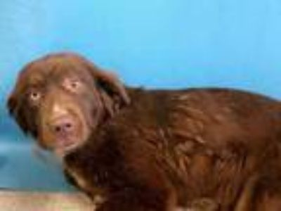Adopt Gracie a Brown/Chocolate English Springer Spaniel / St.
