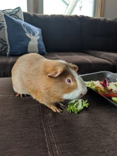 Young male guinea pig & accessories