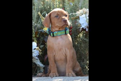 AKC Registered Vizsla Puppies