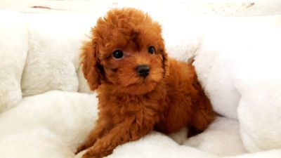 French Poodle Puppy - Female - Whitney ($2,899)