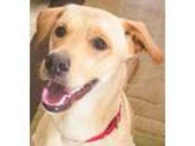 Adopt SUNSHINE a Yellow Labrador Retriever
