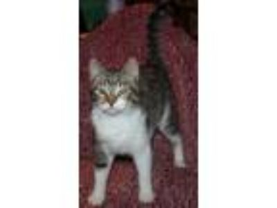 Adopt Peaches a Gray or Blue Bengal (short coat) cat in marionville
