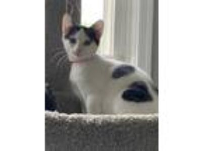 Adopt Croissant a White Domestic Shorthair / Domestic Shorthair / Mixed cat in