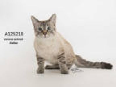 Adopt AMMA a Brown or Chocolate (Mostly) Siamese / Mixed (short coat) cat in