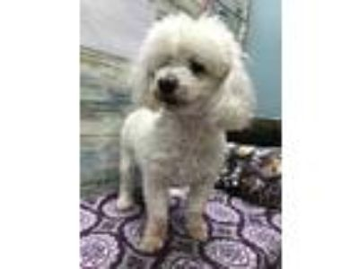 Adopt Melone a White Poodle (Toy or Tea Cup) / Mixed dog in Scottsbluff