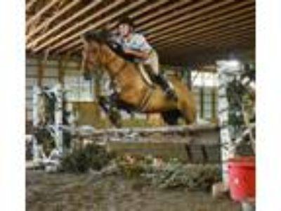 Versatile Quarter Pony